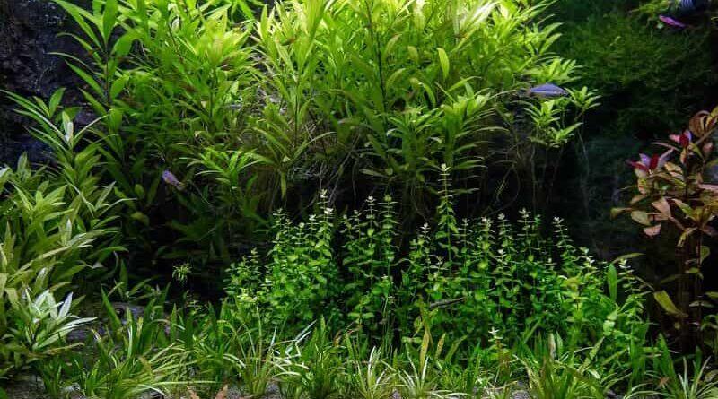 akváriumi növények kezdőknek